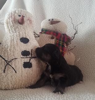 http://www.jandfminiatures.com/aussie_files/puppies/2017/Sierra-Levi-Dec11-2017/Male-available-sm.jpg